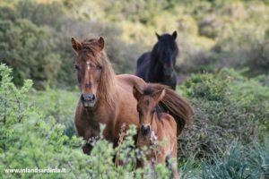 Cavalli al Parco della Giara