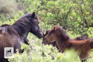 Cavallo e puledro al Parco della Giara