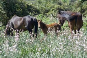 Cavalli della Giara