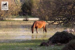 Cavallo in acqua al Parco della Giara
