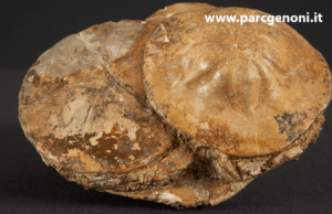Fossili esposti al Museo PARC di Genoni