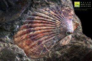 Fossile di pecten esposto al Museo PARC di Genoni
