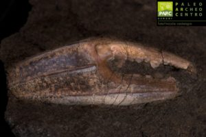 Fossile di granchio esposto al Museo PARC di Genoni