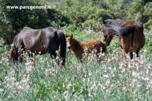 Branco di cavalli e puledro al Parco della Giara